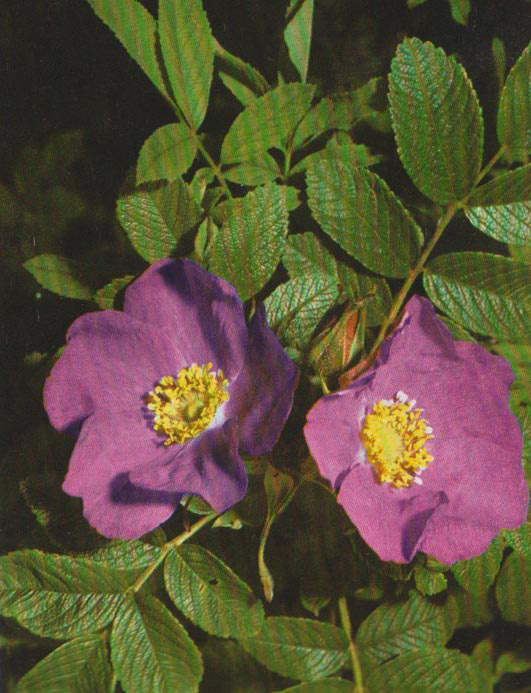 Spinola rosa gallica